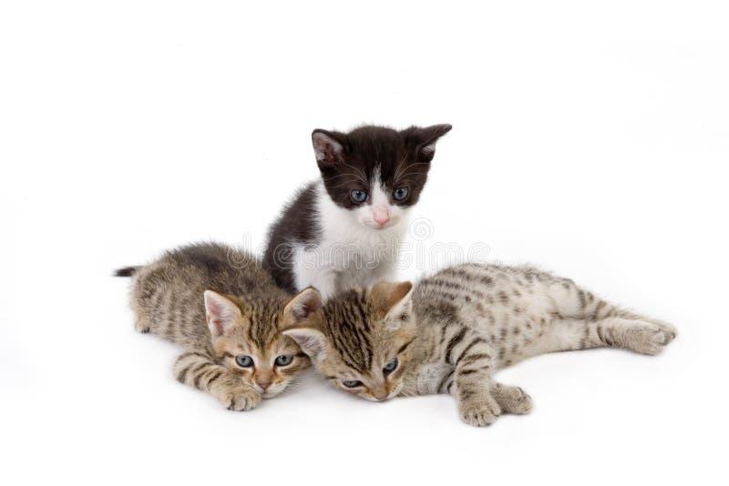 Drei Kätzchenbrüder stockbilder