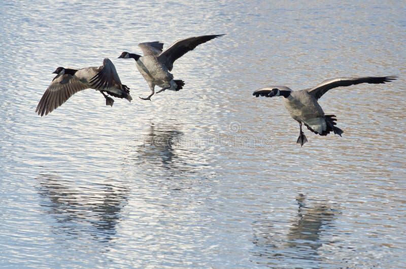 Drei Kanada-Gänse, die auf Winter See landen lizenzfreie stockfotos