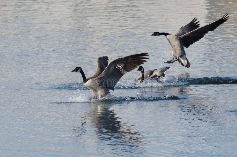 Drei Kanada-Gänse, die auf Winter See landen lizenzfreies stockbild