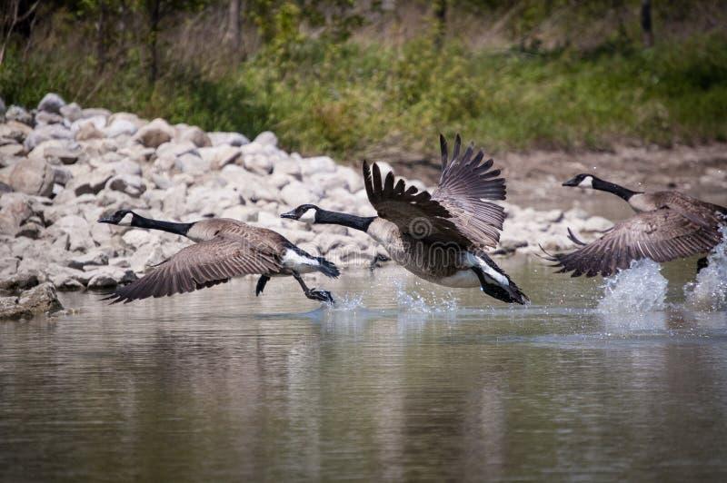 Drei Kanada-Gänse, die von einem Teich sich entfernen lizenzfreies stockbild