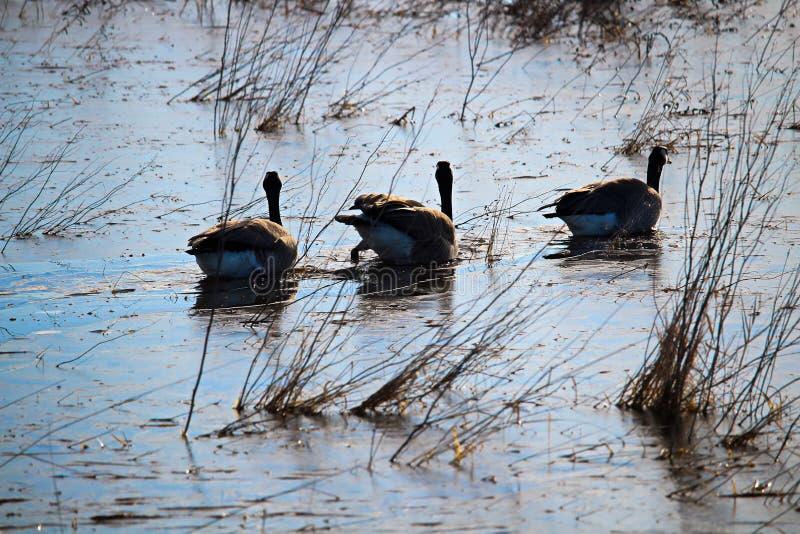 Drei kanadische Gänse, die auf einem gefrorenen Teich schwimmen stockfotografie
