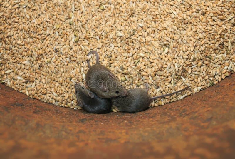 Drei kleine graue Mäuse der lustigen Nagetiere sitzen in einem Fass mit einem Vorrat an Weizenkörnern, verderben die Ernte und ob stockfotografie