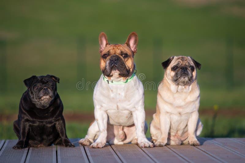 Drei kleine Hunde, die draußen aufwerfen stockfoto