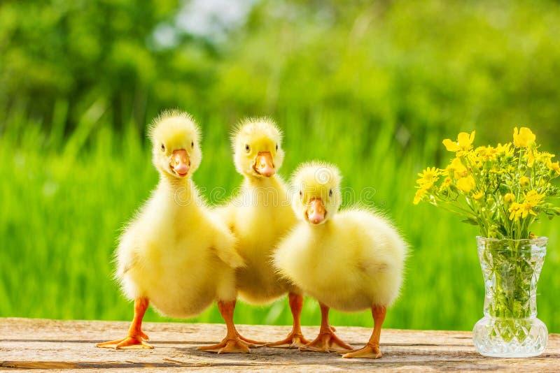 Drei kleiner flaumiger gelber Gosling auf Naturhintergrund stockbild