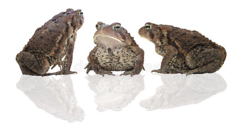 Drei Kröten lizenzfreies stockbild