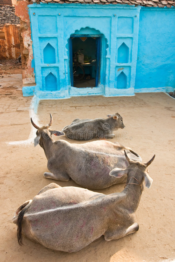 Drei Kuh in Orcha, Indien. stockfotos