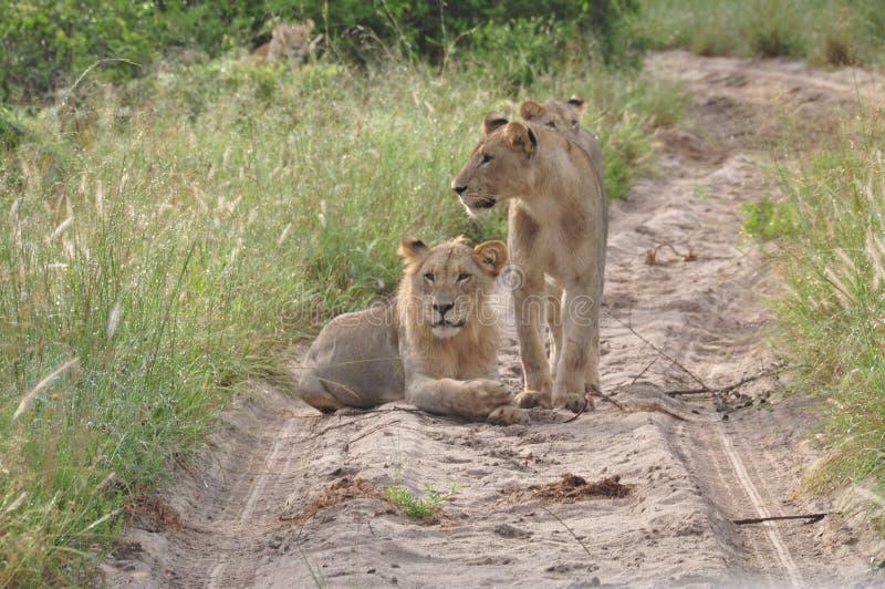 Drei Löwinnen, welche die Straße blockieren stockfotografie