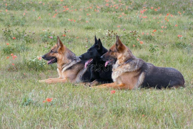 Drei legende Schäferhunde lizenzfreie stockfotografie