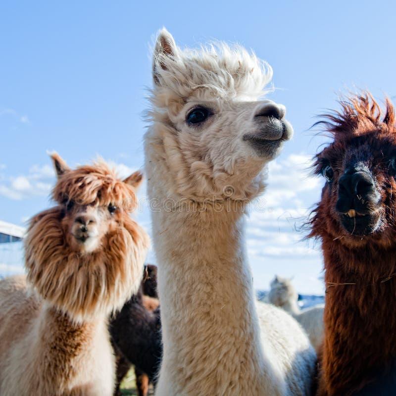 Drei lustige Alpakas lizenzfreies stockfoto