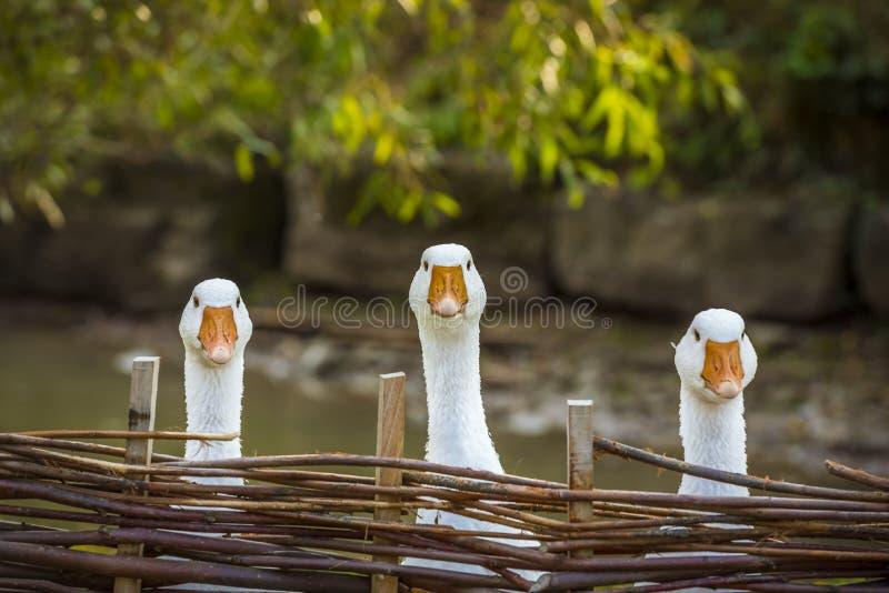Drei lustige weiße Gänse stockfotografie