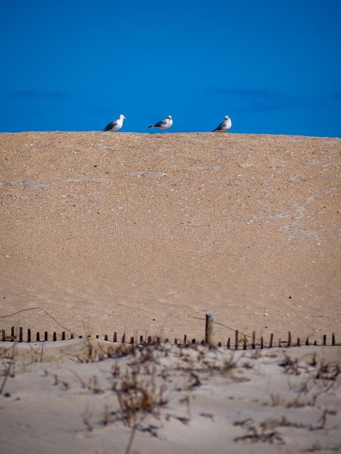 Drei Möven auf einer Düne stockfoto