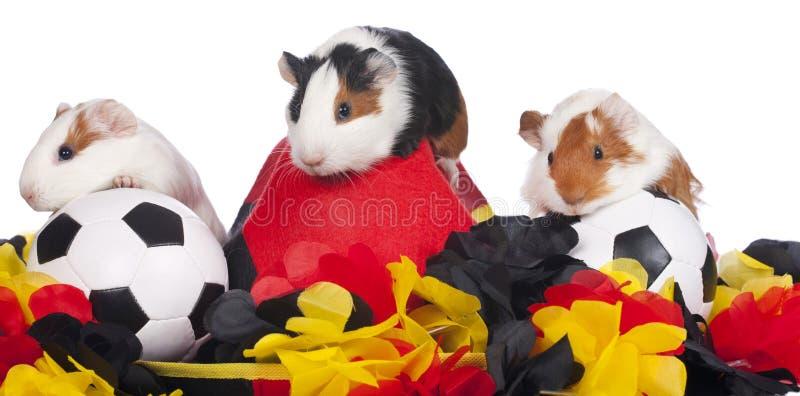 Drei Meerschweinchen mit Fußballmaterial stockfotos
