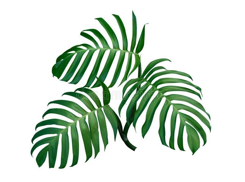 Drei Monstera-Pflanzenblätter, die tropische immergrüne Rebe lokalisiert auf weißem Hintergrund, Weg stockfotografie
