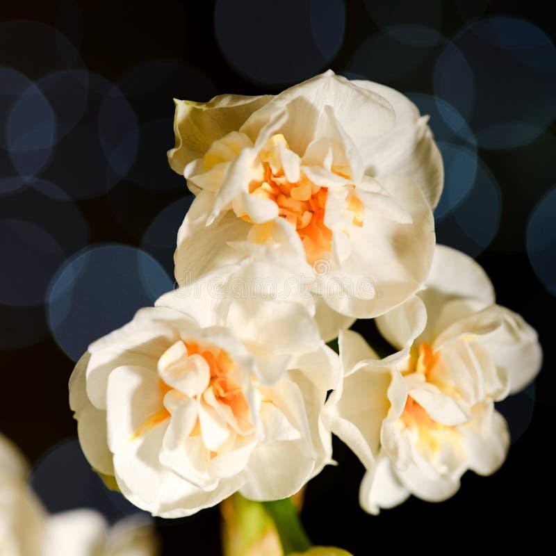 Drei Narzissenblüte mit blauen Reflexionen im Hintergrund lizenzfreie stockfotos