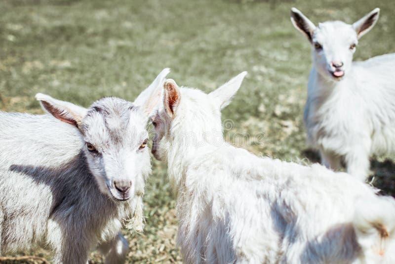 Drei nette Ziegen CUB sind Ziegen Eine kleine Ziege zeigt die Zunge lizenzfreie stockfotos