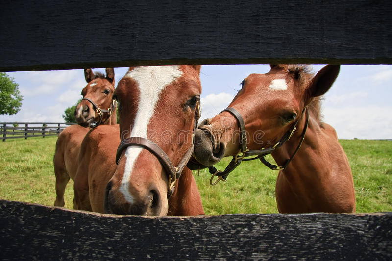 Drei neugieriger Colts stockfotografie