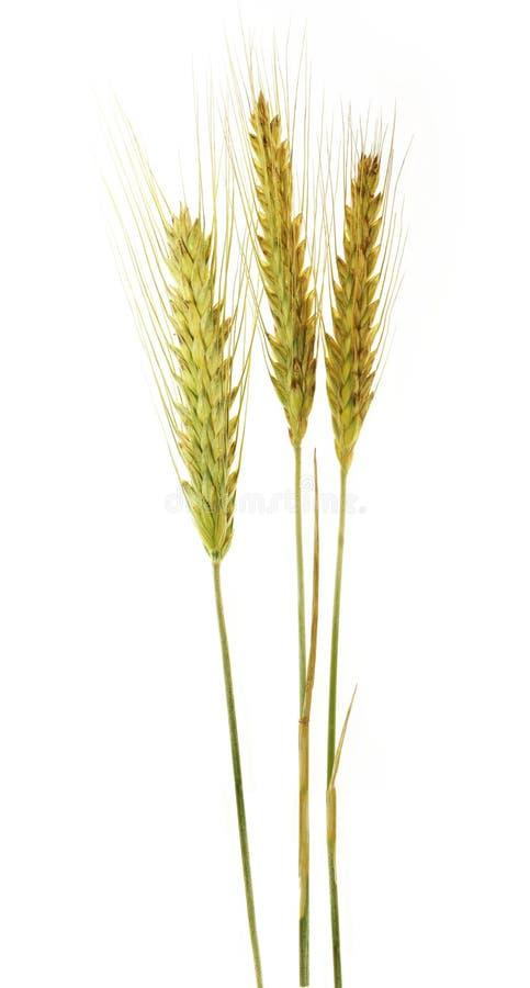 Drei Ohren Getreide lizenzfreie stockbilder