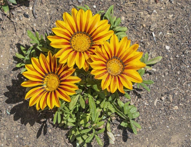 Drei orange und rote gestreifte Gazania-Blumen lizenzfreies stockfoto