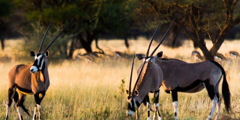 Drei Oryx Gazella im Nationalpark von Namibia mit Springbock im Hintergrund stockbilder