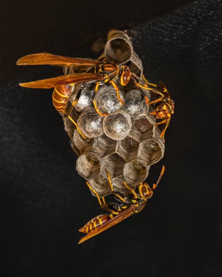 Drei Papierwespen am Nest lizenzfreie stockfotografie