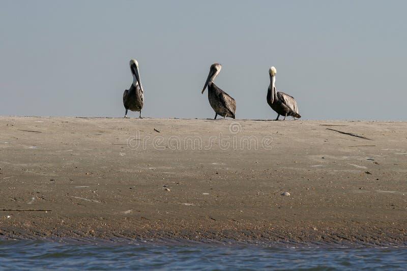 Drei Pelikane auf einer Sand-Bank lizenzfreies stockbild