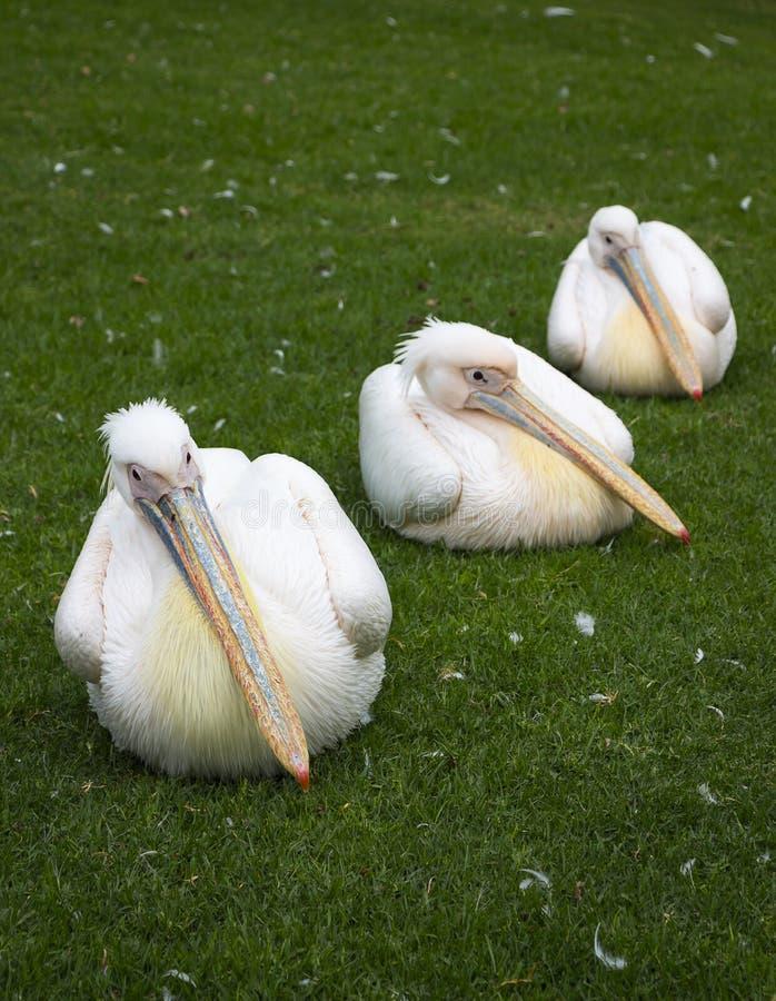 Drei Pelikane in Folge lizenzfreie stockbilder