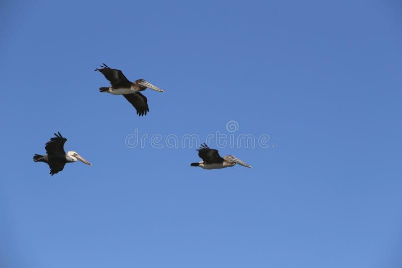 Drei Pelikane im Flug im Himmel lizenzfreie stockfotos