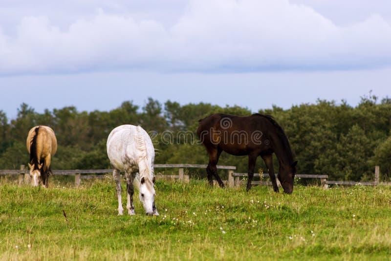 Drei Pferde, die auf einer Weide weiden lassen lizenzfreies stockfoto