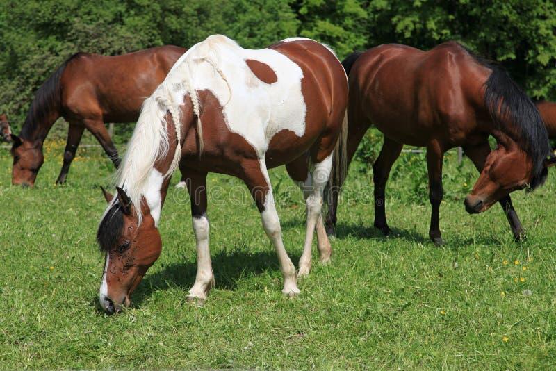 Drei Pferde, die auf einer Wiese weiden lassen stockbilder