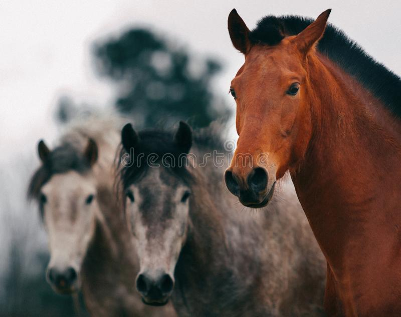 Drei Pferde, die Kamera betrachten stockfotografie