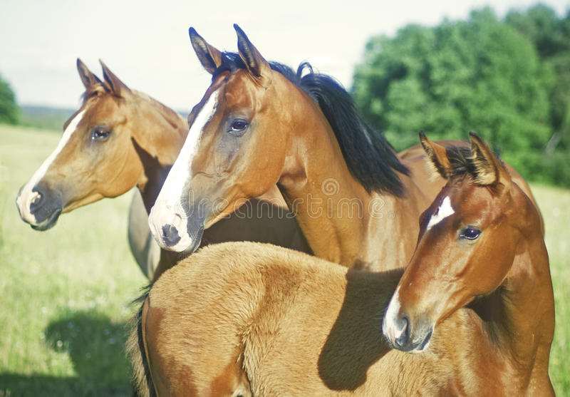 Drei Pferde, die seitlich schauen stockfotografie