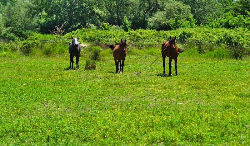 Drei Pferde in einem Tal mit niedriger Vegetation, lizenzfreie stockfotos