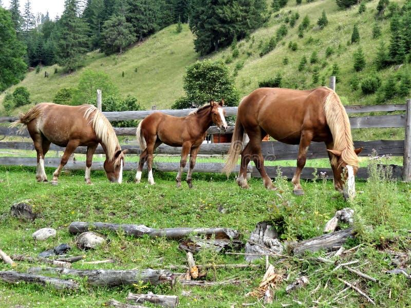 Drei Pferde im Bretterzaun auf Abhanghintergrund stockfoto