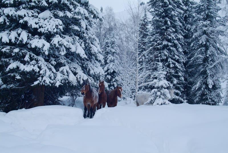 Drei Pferde kommen aus gefrorenen Wald heraus lizenzfreie stockfotografie