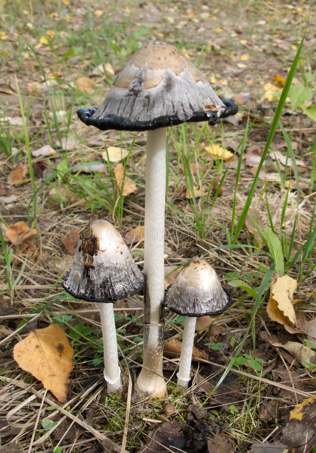 Drei Pilze Toadstools im Herbst lizenzfreies stockbild