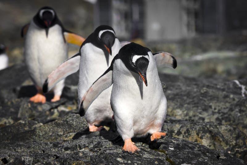 Drei Pinguine stockfoto