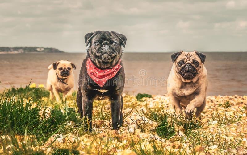 Drei Pughunde, die in Richtung zur Kamera weg von dem Meer laufen lizenzfreie stockbilder