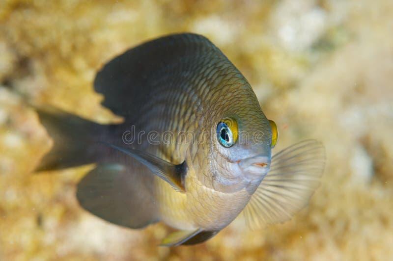 Drei Punktdamselfish-c$stegastes planifrons lizenzfreie stockfotografie