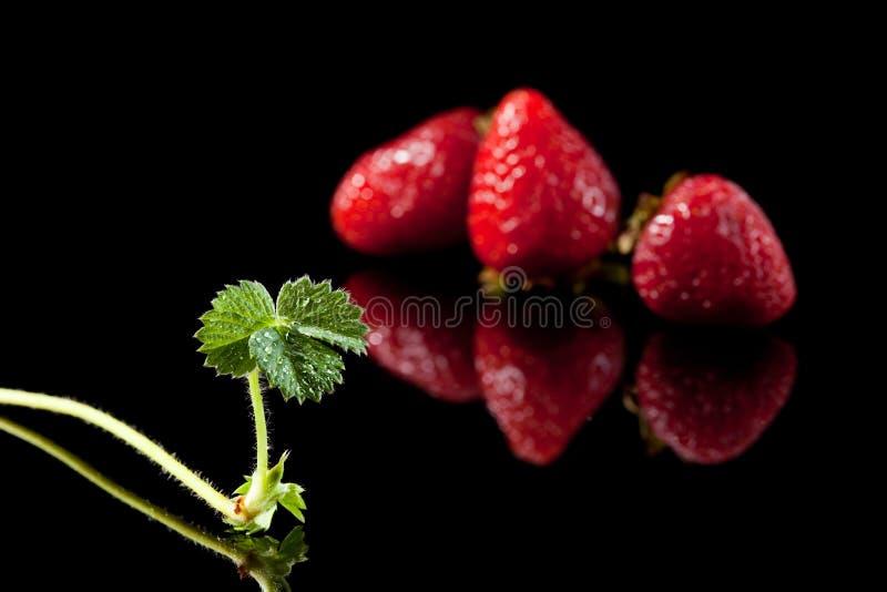 Drei reife Erdbeere und Sprössling lizenzfreie stockfotografie