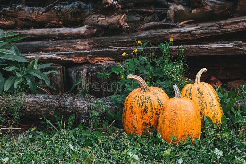 Drei reife orangefarbene Kürbis auf Gras und rustikalem Hintergrund Thanksgiving-Card-Konzept lizenzfreies stockbild