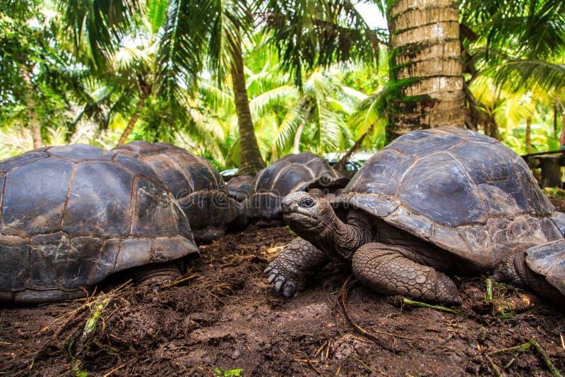 Drei riesige Schildkröten stockfoto