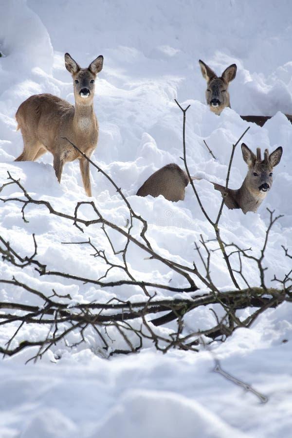 Drei Rogen Deers (Capreolus Capreolus) im Schnee lizenzfreies stockfoto