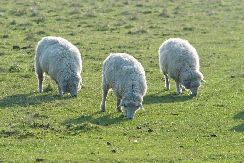 Drei Romney Marsh Sheep stockfoto