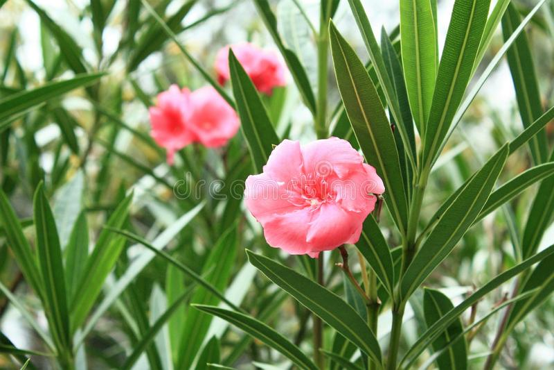 Drei rosa Pfirsichblüten lizenzfreies stockbild