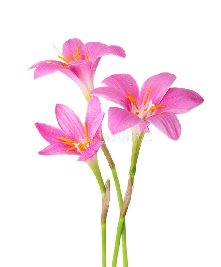 Drei rosafarbene Lilien stockbilder