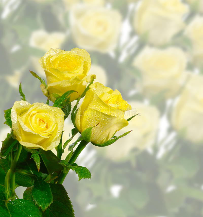 Drei Rosen stockfoto