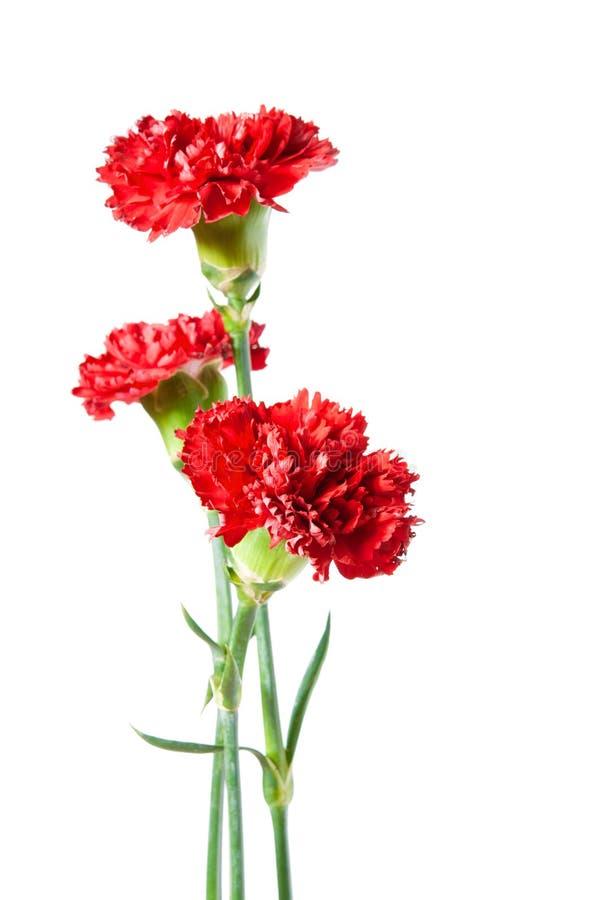 Drei Rot-Gartennelke lizenzfreies stockfoto