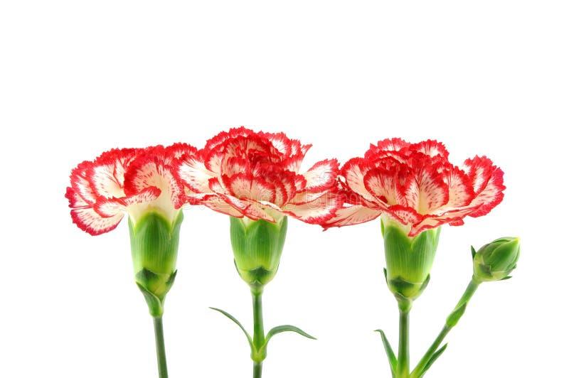 Drei rot und weiße Gartennelken stockbilder