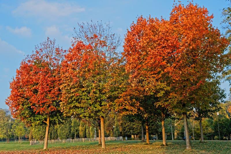 Drei rote Bäume im Park stockbilder