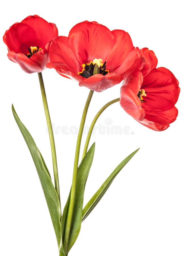 Drei rote Blumen lokalisiert auf einem weißen Hintergrund stockfoto